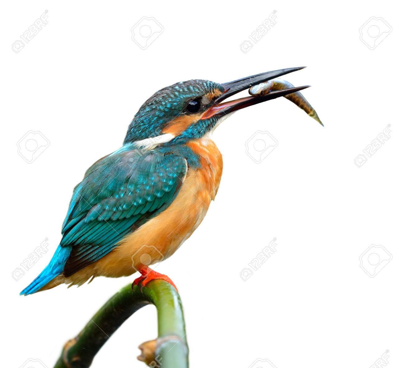 Schöner Blauer Vogel, Eisvogel (Alcedo Atthis) Auf Einem Bambusstock ...