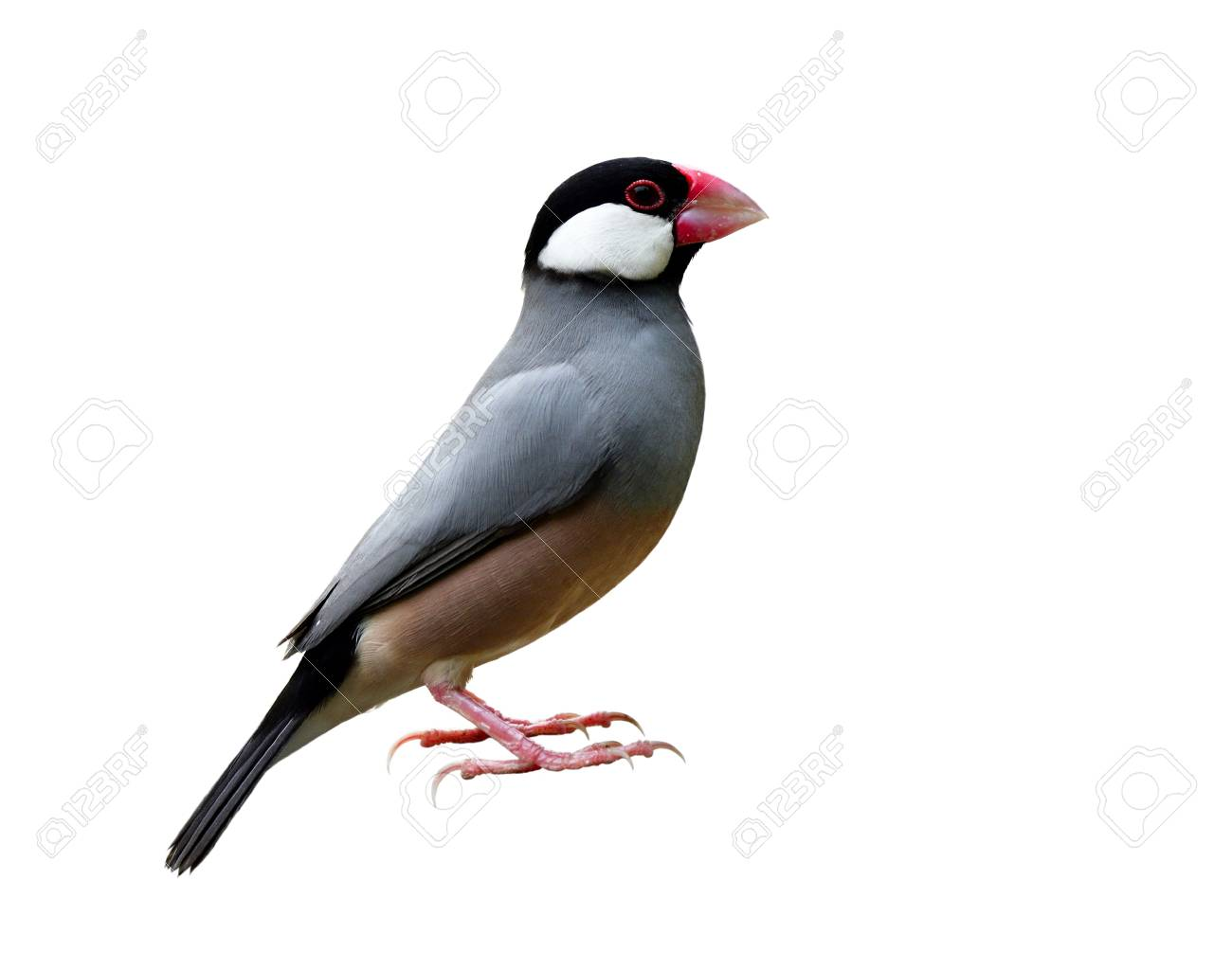 Beautiful Java sparrow (Lonchura oryzivora) Java finch or Rice