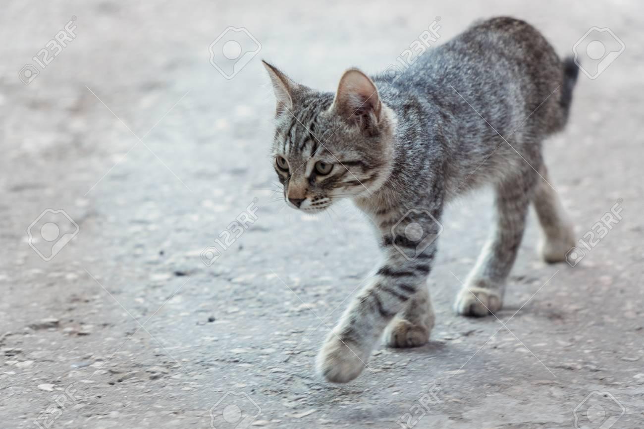 dc738e2653529a A young gray cat walks along the asphalt. Selective focus Stock Photo -  104451997