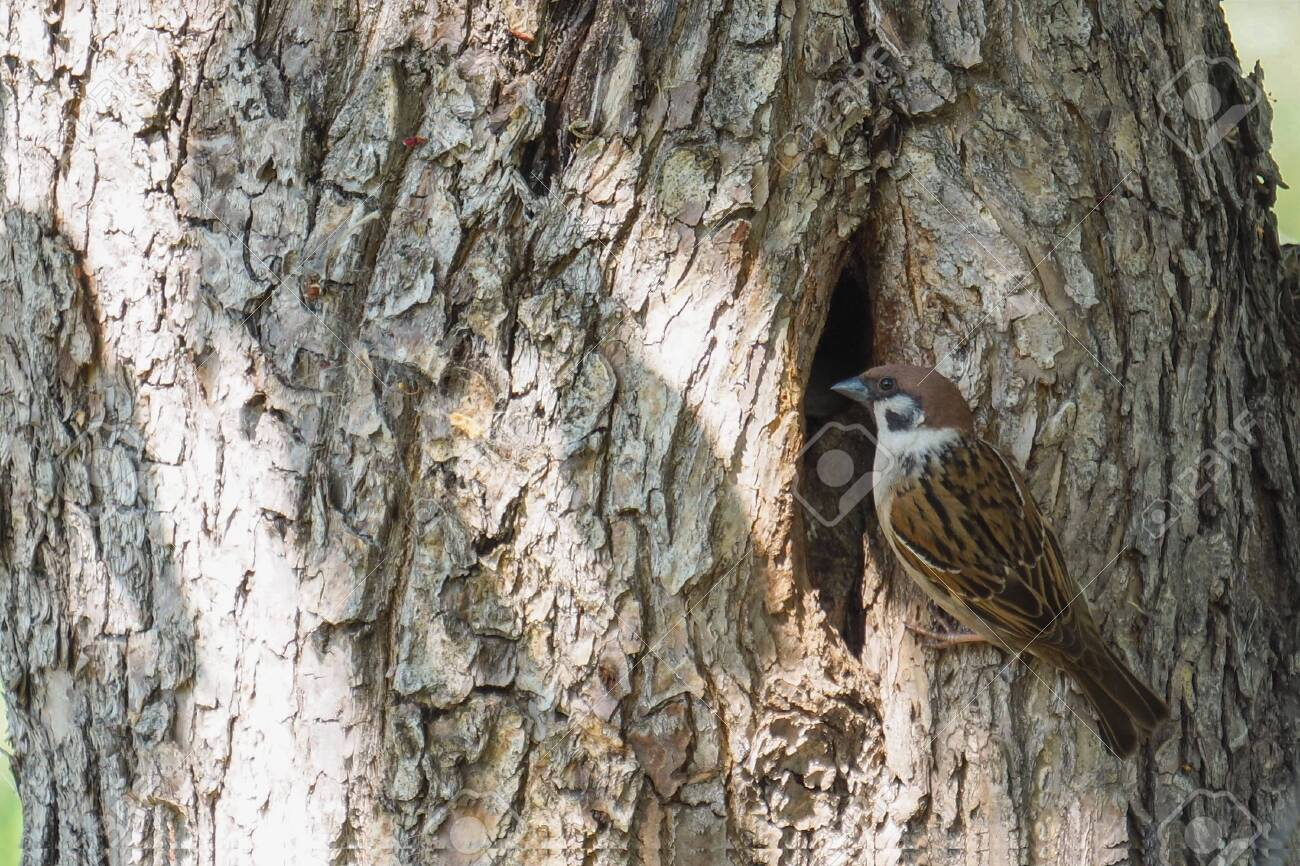 A Sparrow sits at its nest in a hollow tree - 149948685