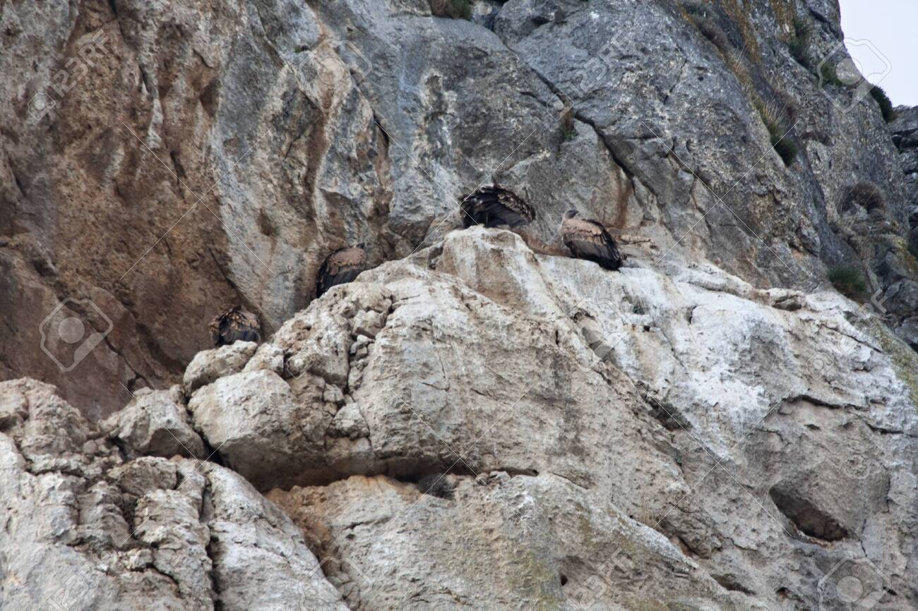 vultures having rest on a cliff - 137120546
