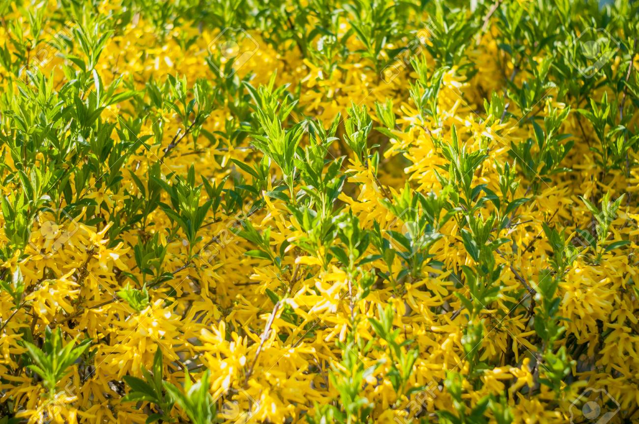 Forsythia Low Shrub Having Bright Yellow Flowers In Spring