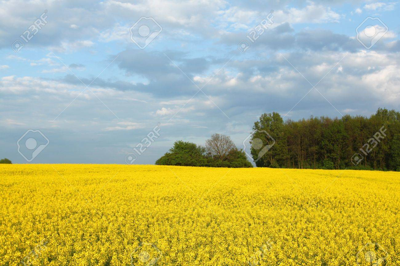 Yellow flowers and the blue sky canola fields in poland stock stock photo yellow flowers and the blue sky canola fields in poland mightylinksfo Images