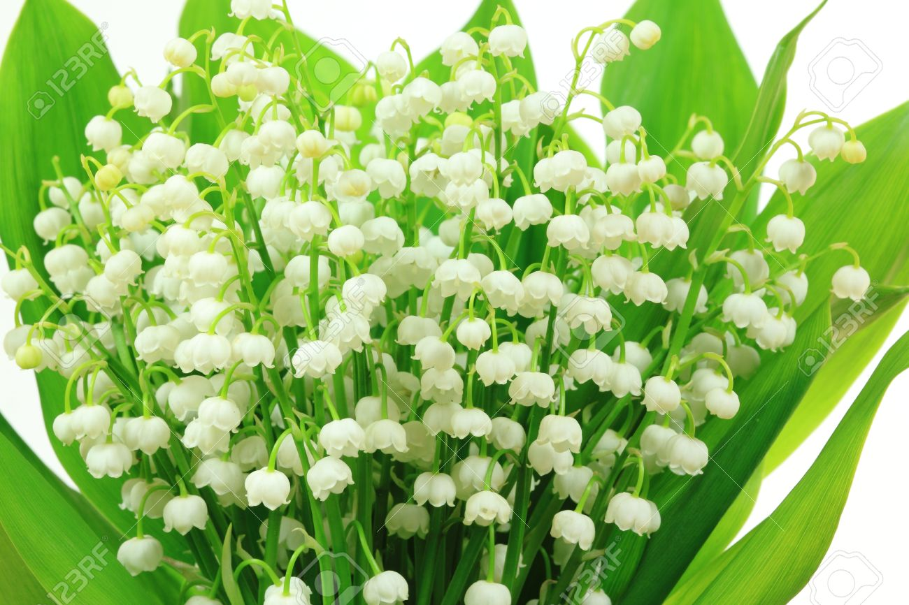 Lily of the valley flowers convallaria majalis flower bunch lily of the valley flowers convallaria majalis flower bunch against white background izmirmasajfo