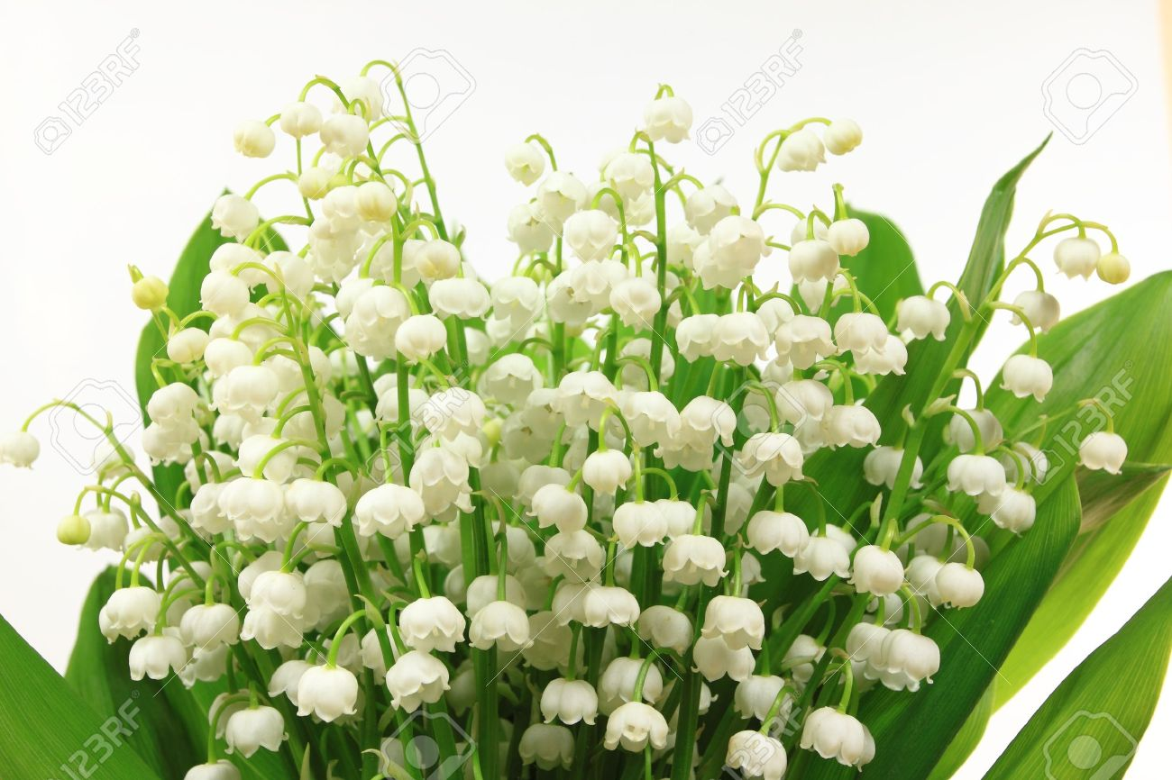 Lily of the valley flowers convallaria majalis flower bunch lily of the valley flowers convallaria majalis flower bunch against white background izmirmasajfo Images