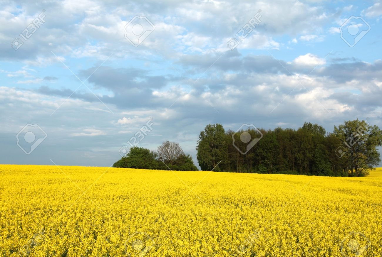 Yellow flowers and the blue sky canola fields in poland stock stock photo yellow flowers and the blue sky canola fields in poland mightylinksfo