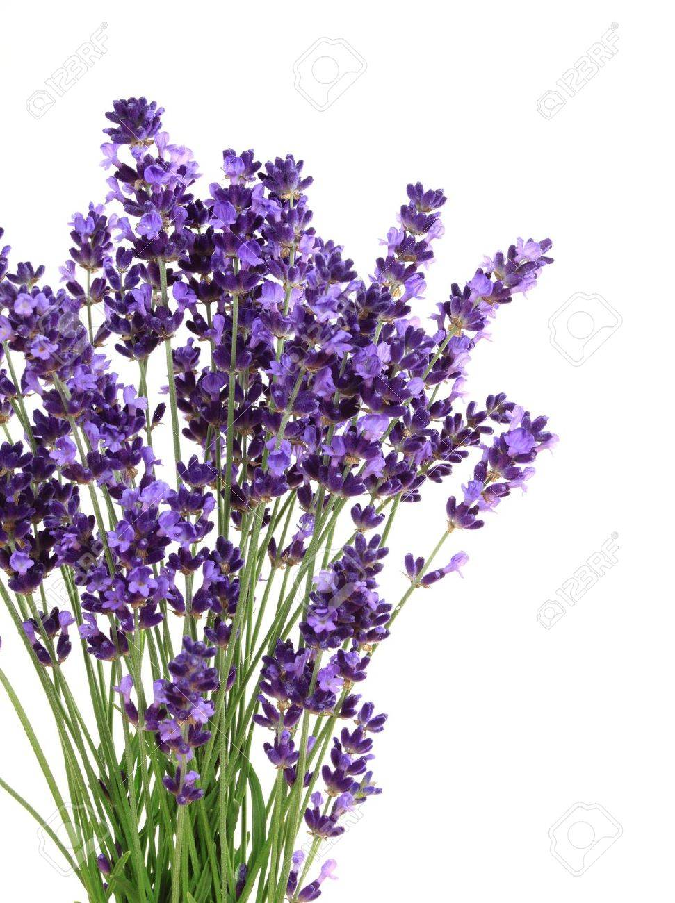 Lavender flowers against white background. Isolated object. - 14245119