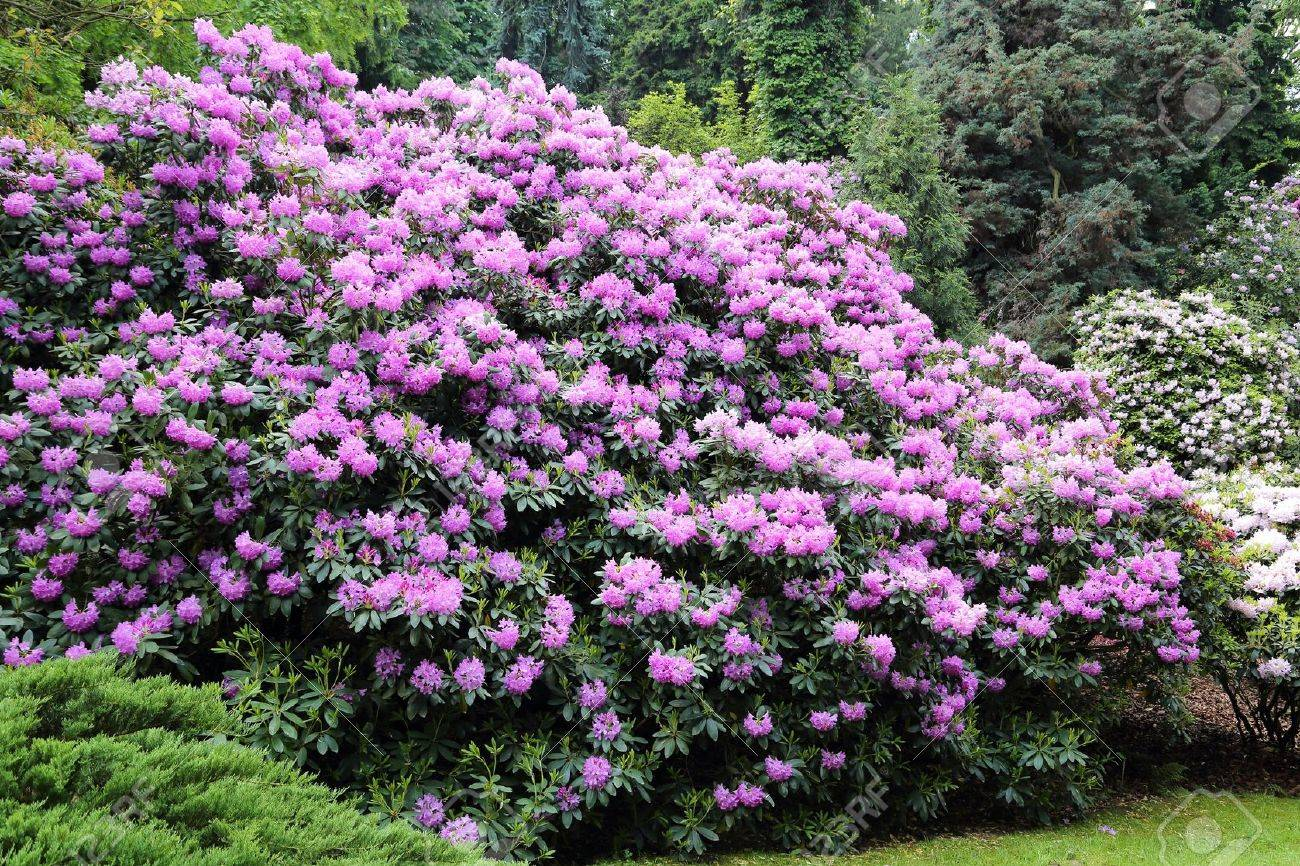 Beautiful Rhododendron Flower Bushes And Trees In A Garden