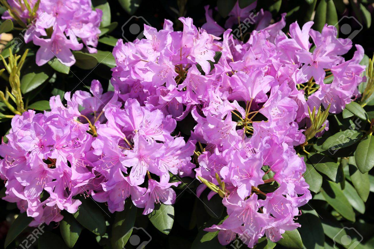 Beautiful rhododendron pink flower bushes in a garden stock photo beautiful rhododendron pink flower bushes in a garden stock photo 30026664 mightylinksfo