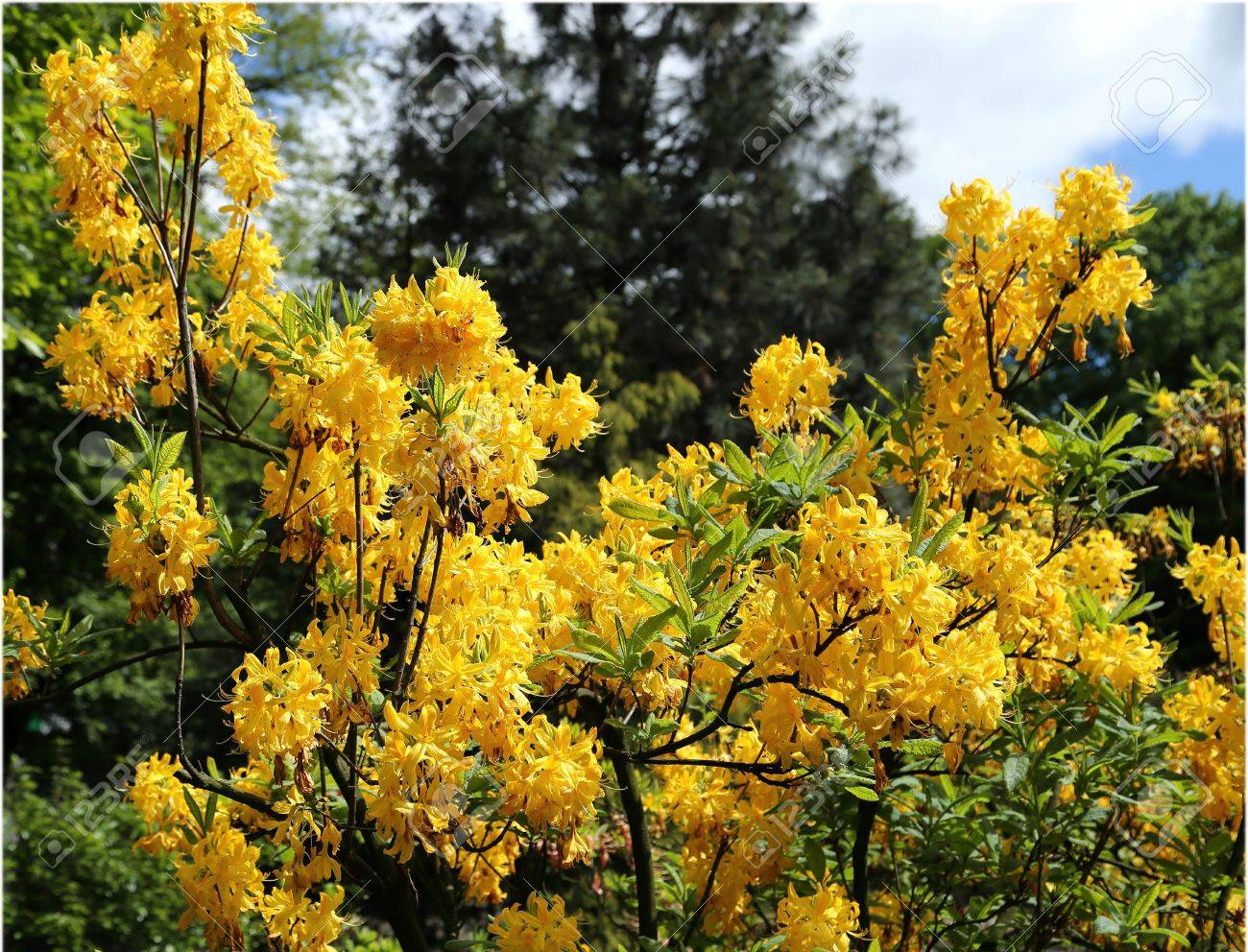 Beautiful Azalea Yellow Flower Bushes In A Garden Stock Photo