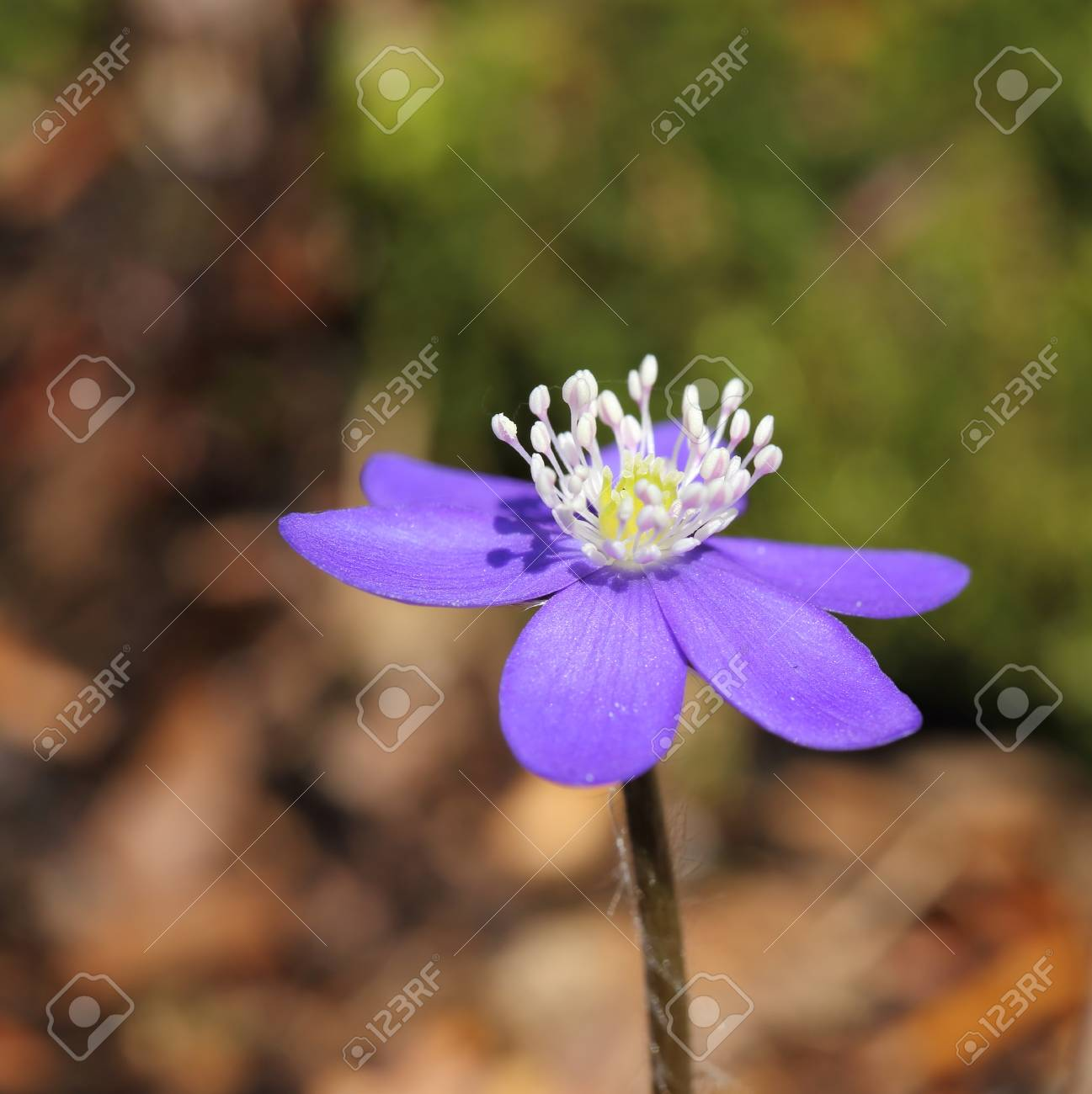 Anemone Hepatica Blooming In The Forest Spring Flowers Stock Photo