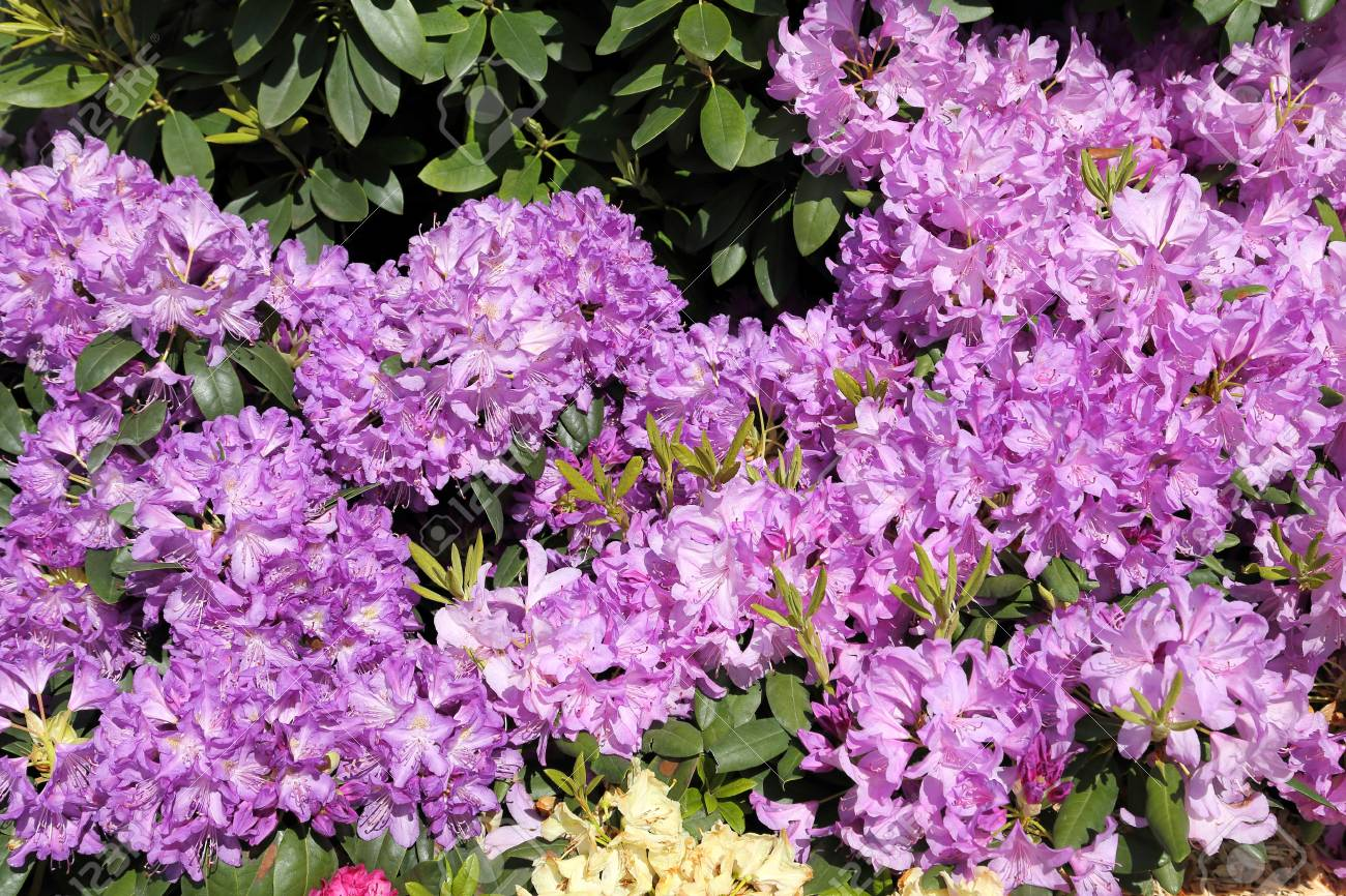 Beautiful Rhododendron Pink Flower Bushes In A Garden Stock Photo