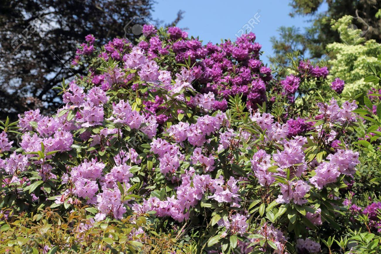 Hermosas Del Rododendro Rosa Arbustos De Flor En Un Jardin Fotos - Arbustos-de-flor