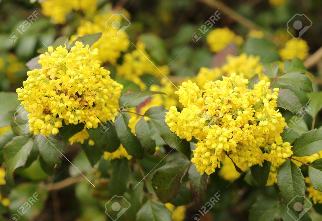 Oregon Grape Clusters Of Yellow Flowers Blooming In The Early
