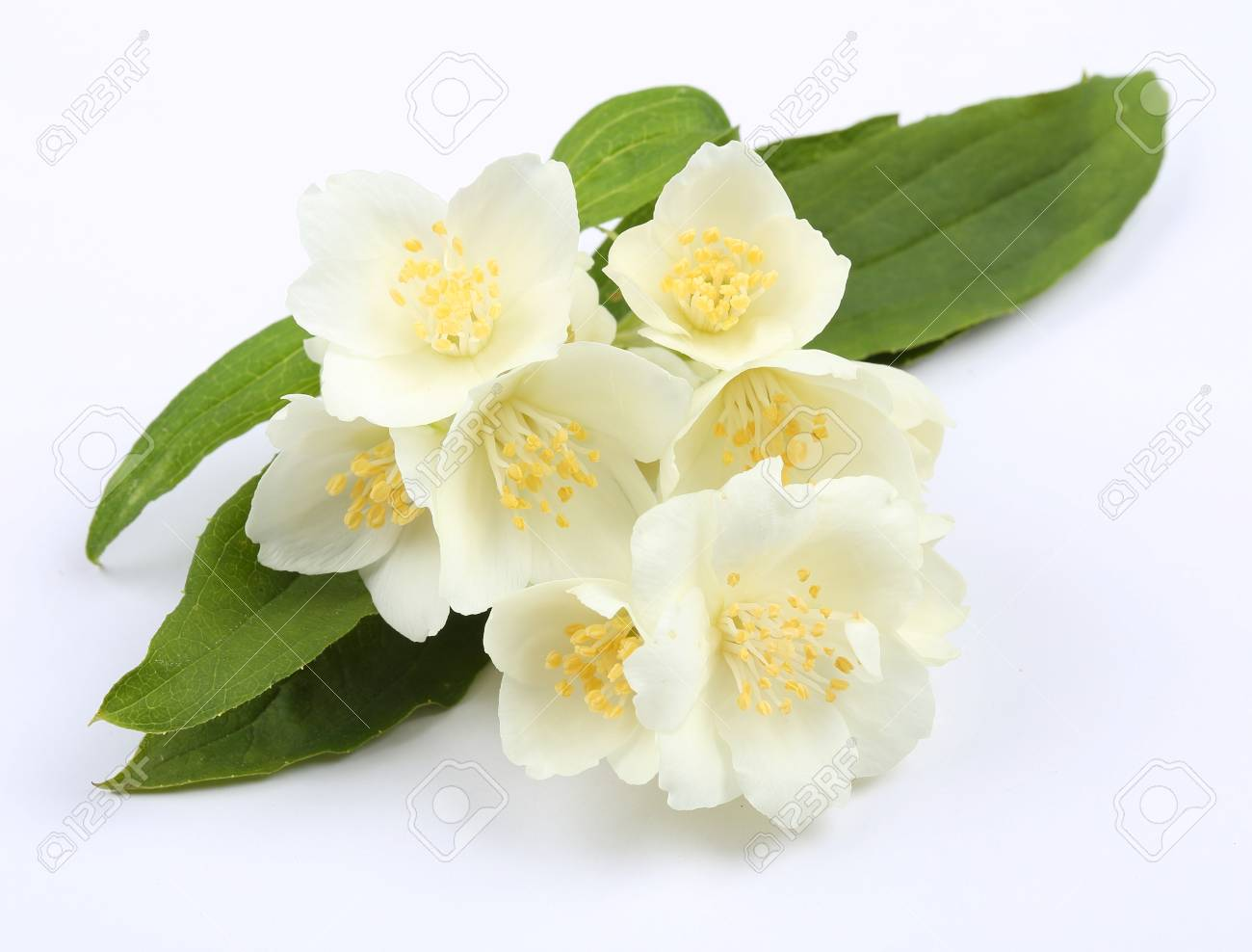 Blooming Jasmine On A White Background White Fragrant Flowers