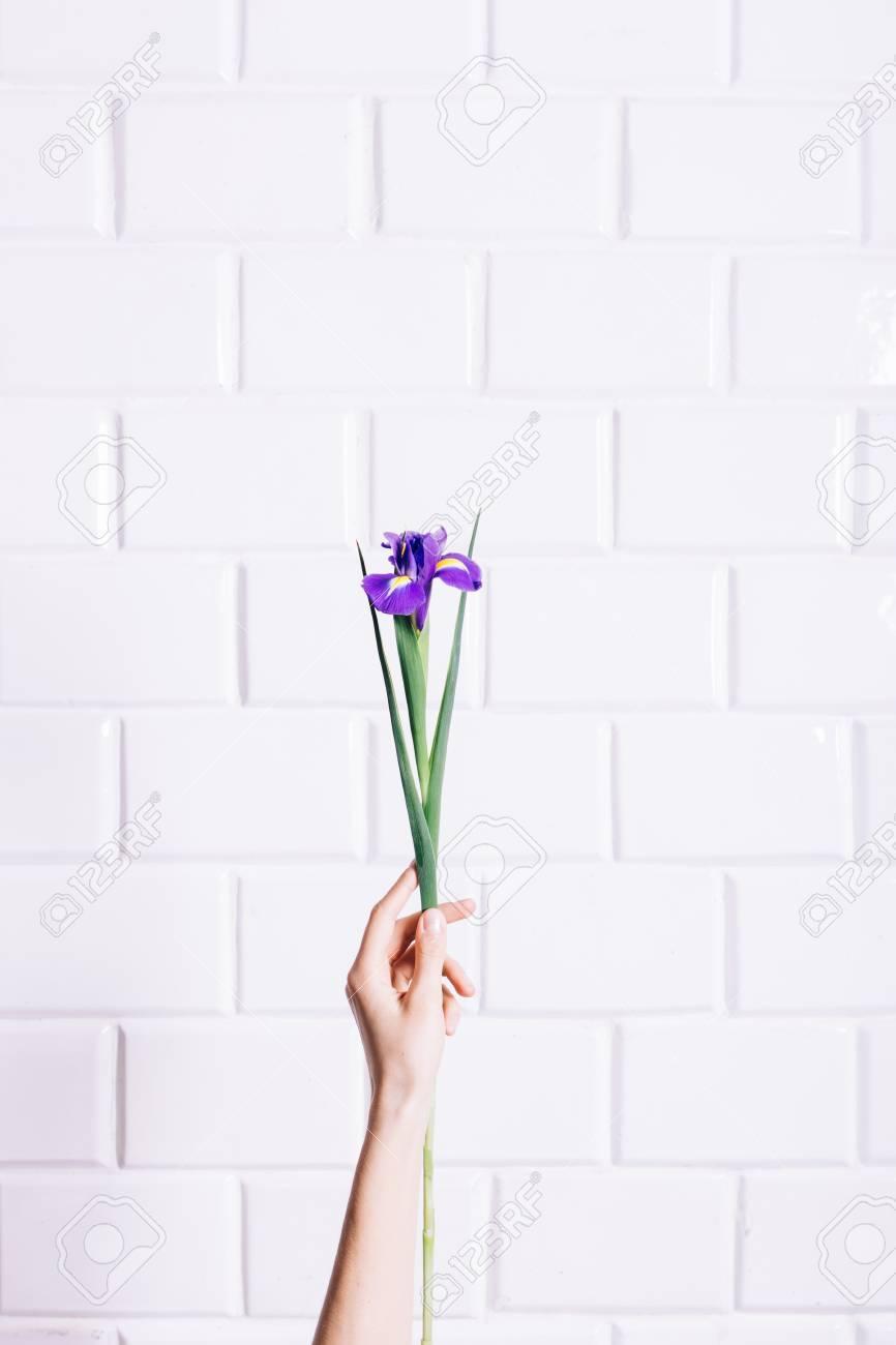 Iris Flower In A Female Hand Against White Brick Wall Vertical Framing Stock Photo