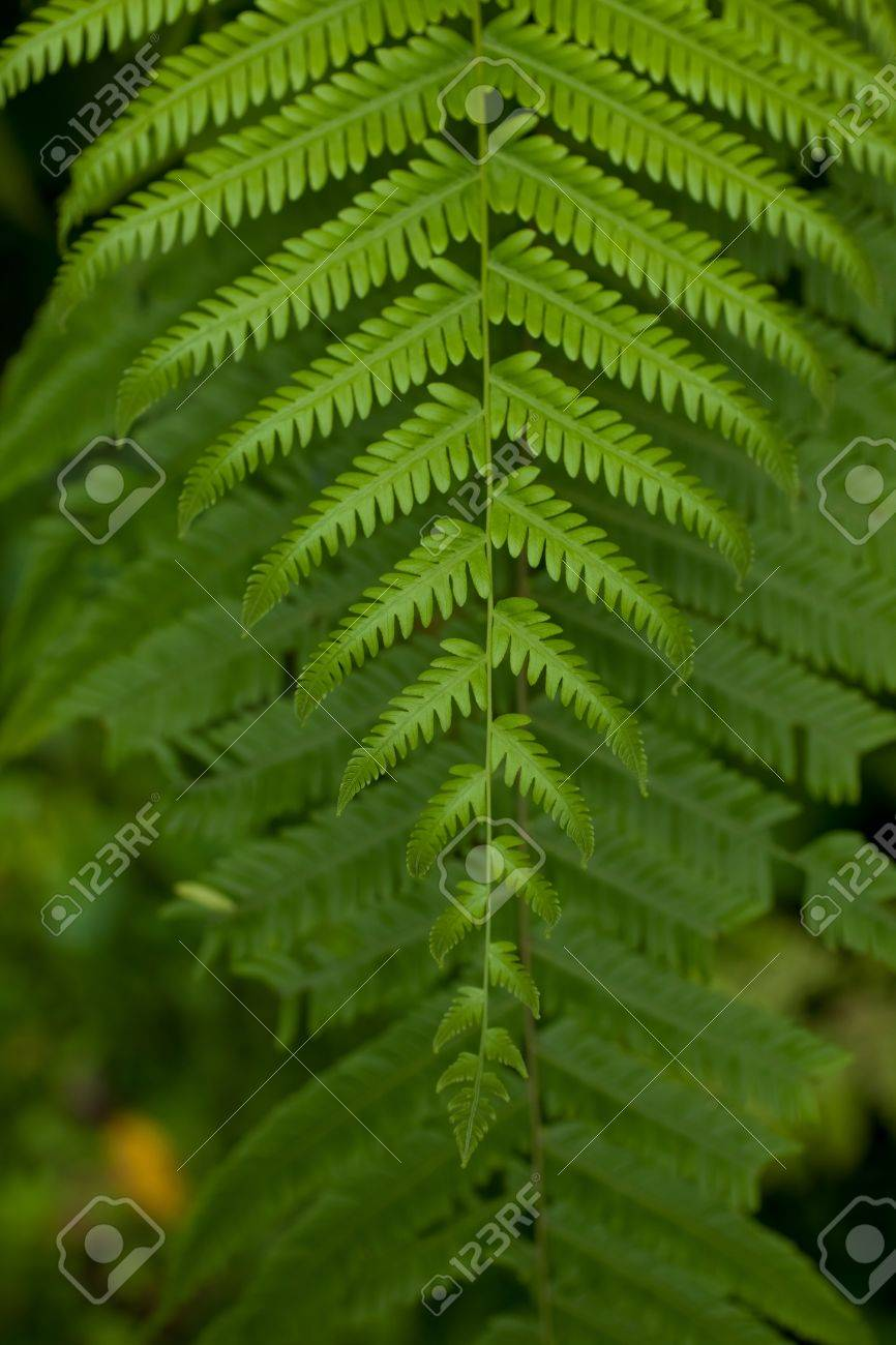 A beautiful fern leaf in the undergrowth of a tropical rainforest Stock Photo - 12772409