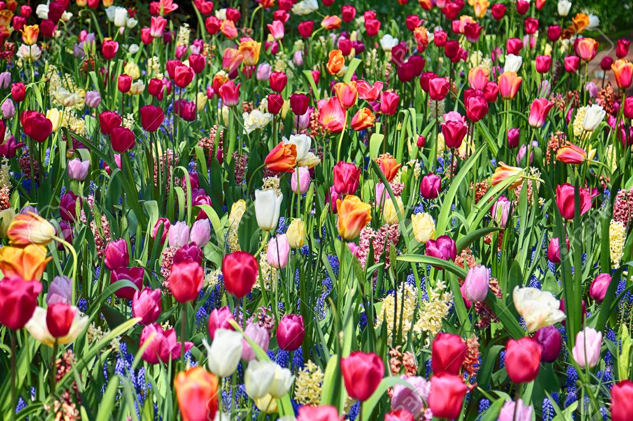 Field Of Tulips And Other Seasonal Spring Flowers Stock Photo