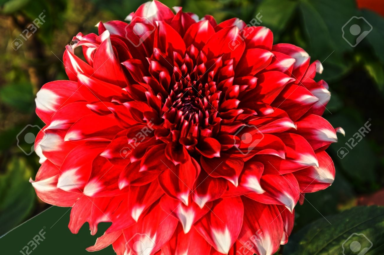 Red Dahlia Flower On Natural Background The Colors Are Bright ...