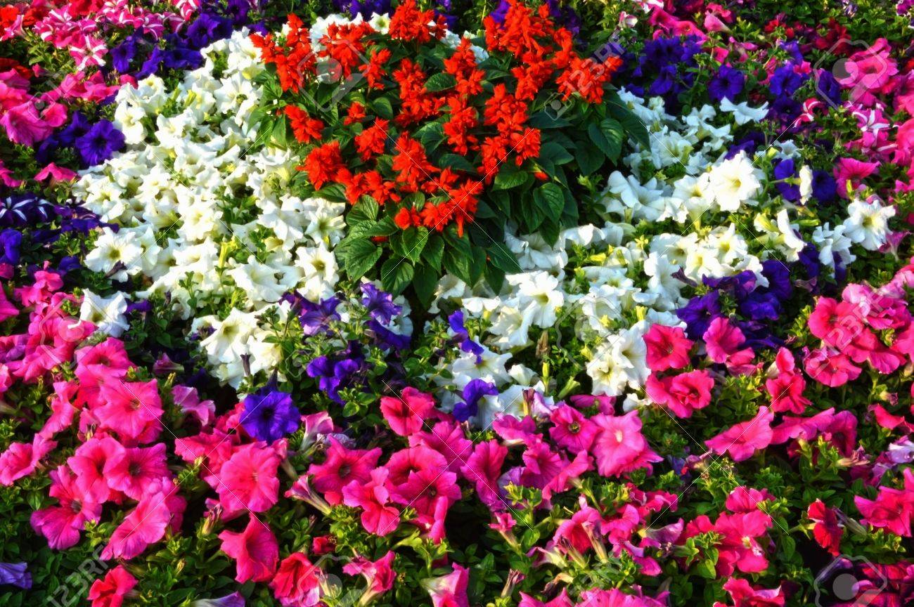 Flowerbed Of White Pink Red Blue Flowers This Is A Decorative Stock Photo Picture And Royalty Free Image Image 18497559