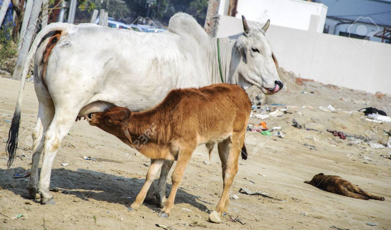 Cow feeding calf milk Cow is white while calf is brown