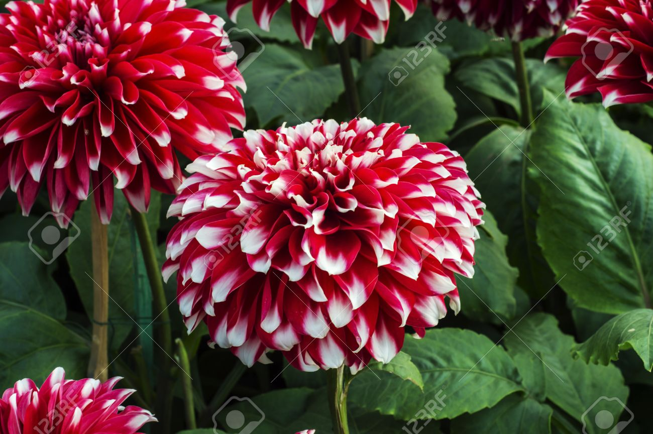 Red and white dahlia flowers with green plants and leaves stock red and white dahlia flowers with green plants and leaves stock photo 26405597 mightylinksfo