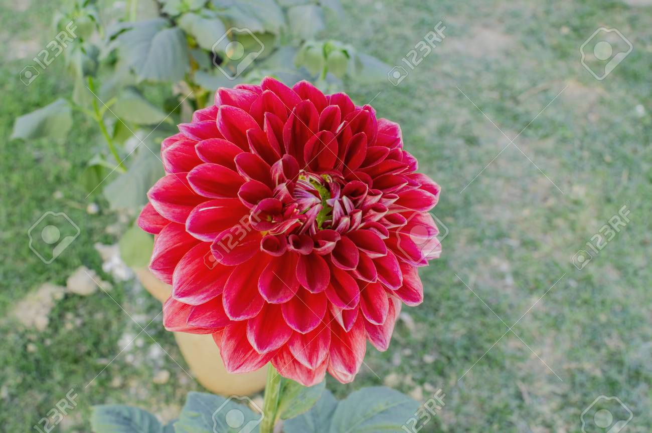 Single Dark Red Dahlia Flower In Park And Green Environment Stock