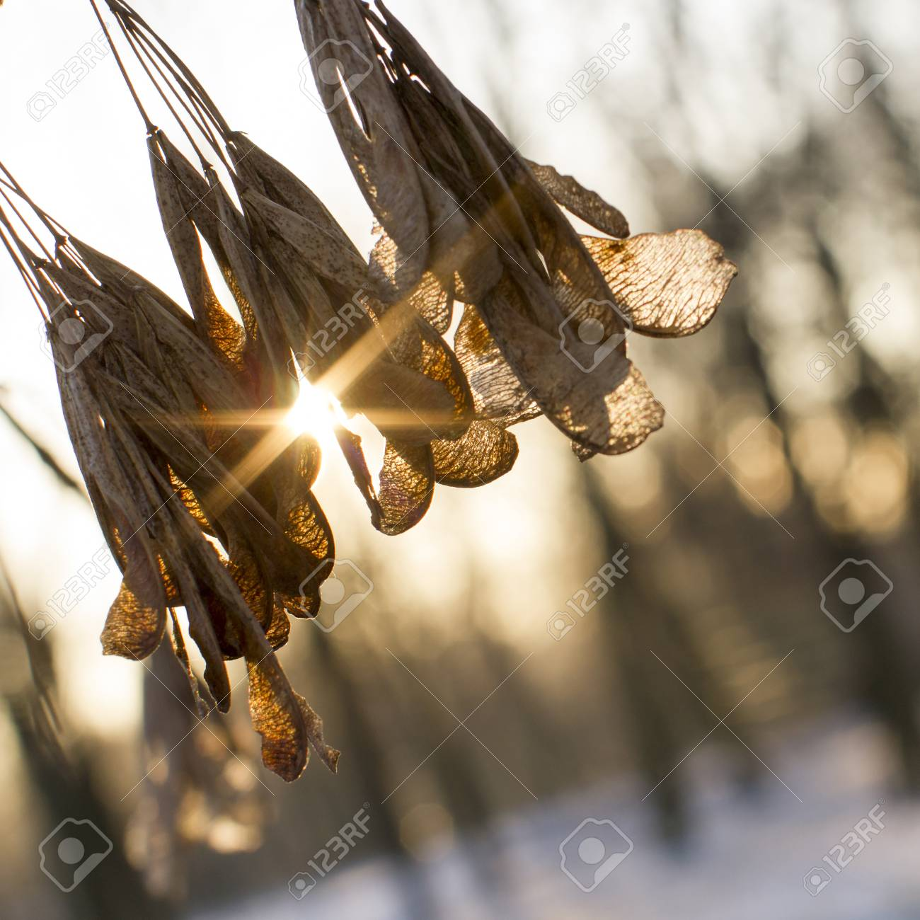 The sun shines through the dry leaves on the tree. Winter landscape. - 50919463