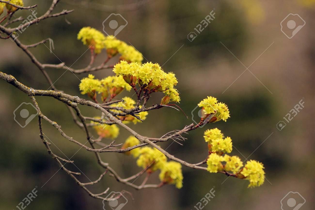 Bright yellow flowers on a tree in spring. Spring landscape. - 55421964