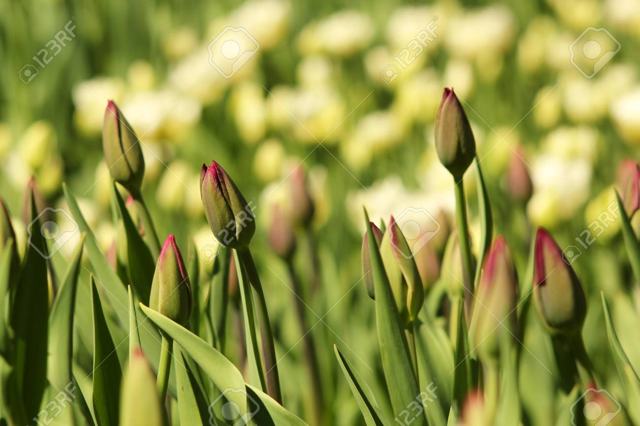 The buds of tulips in bright sunlight. Spring, a sunny day, field of flowers, sunny. - 55422006