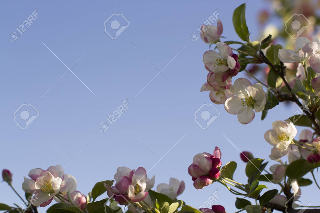 Spring mood, apple tree in bloom. Background of flowers at the edge of the frame against the blue sky. - 58814193