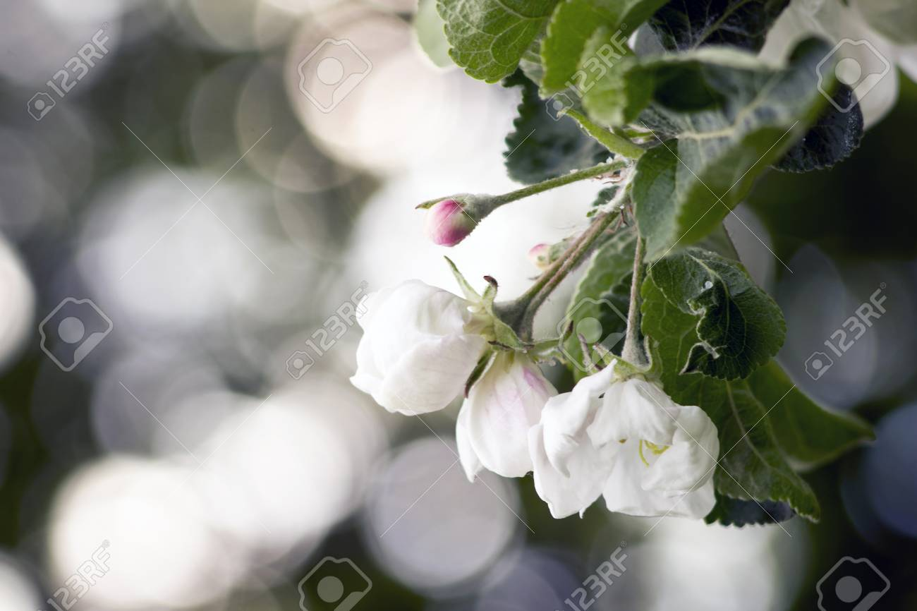 Spring garden - apple tree in bloom. Beautiful white flowers and buds on the branches of the apple tree. - 95725082