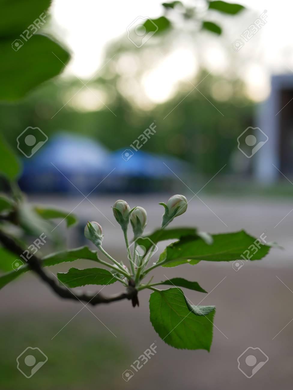Spring mood. Flowering tree in a park in spring. - 101661827