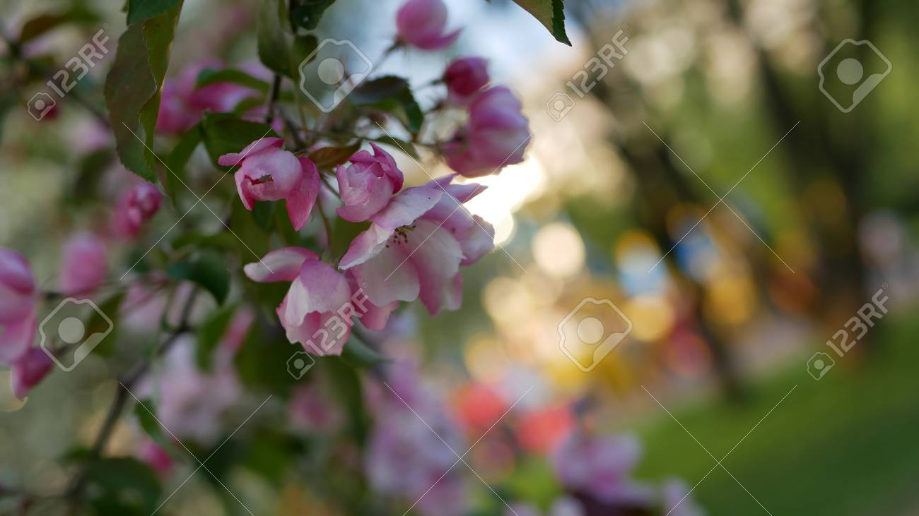 Spring, a sunny day, a flourishing garden. White-pink flowers on an apple tree at the time of flowering. Spring mood. - 101972162