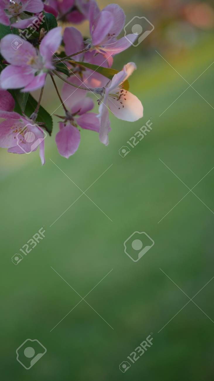Colorful floral spring background. Blossoming apple tree with bright pink flowers on a background of green grass. - 102088660