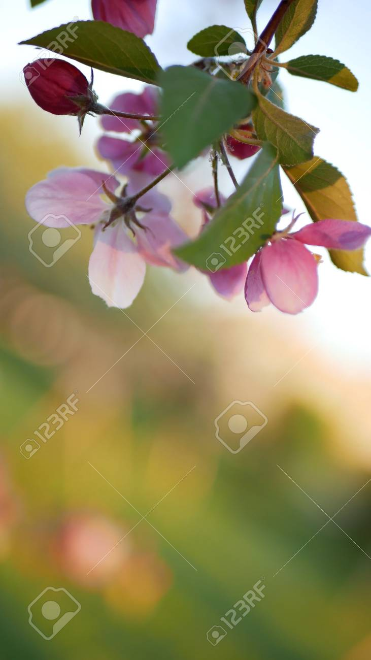 Colorful floral spring background. Blossoming apple tree with bright pink flowers on a background of green grass. - 102131524