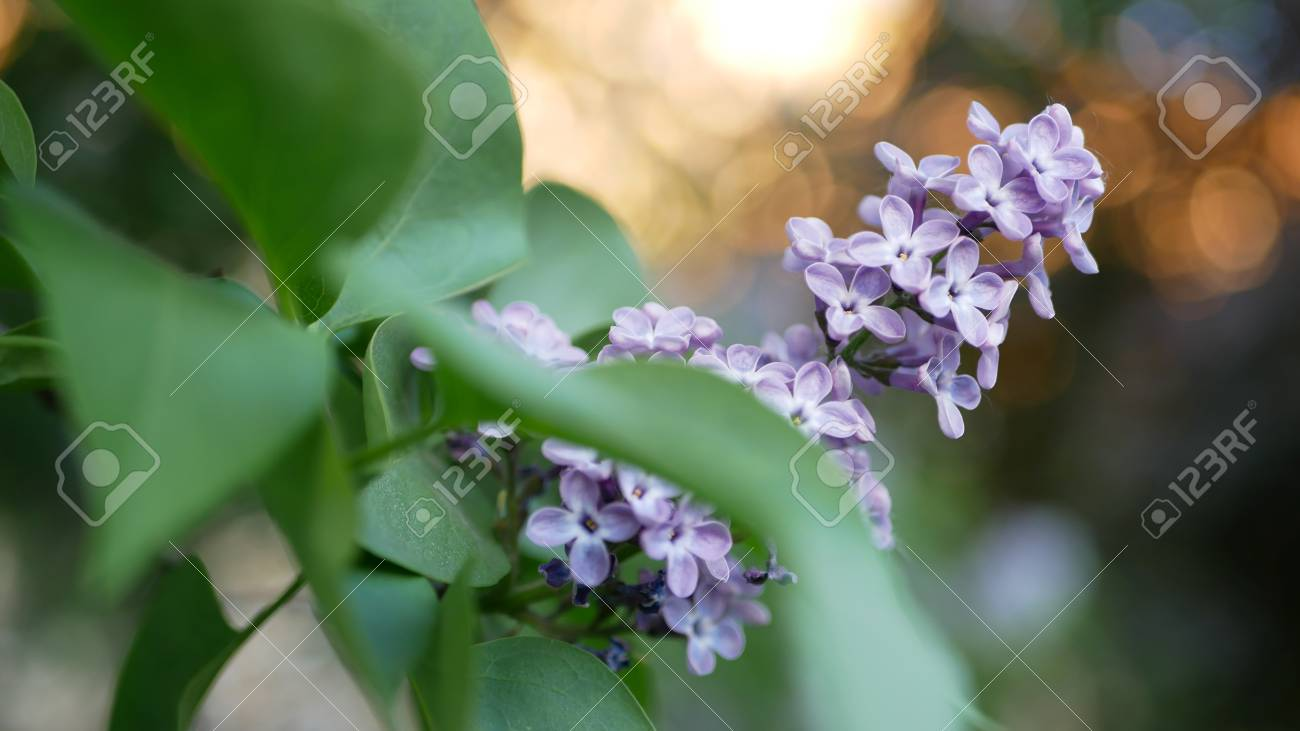 Lilac in a spring park - a branch of lilac in the rays of the setting sun. Spring mood. - 102684763