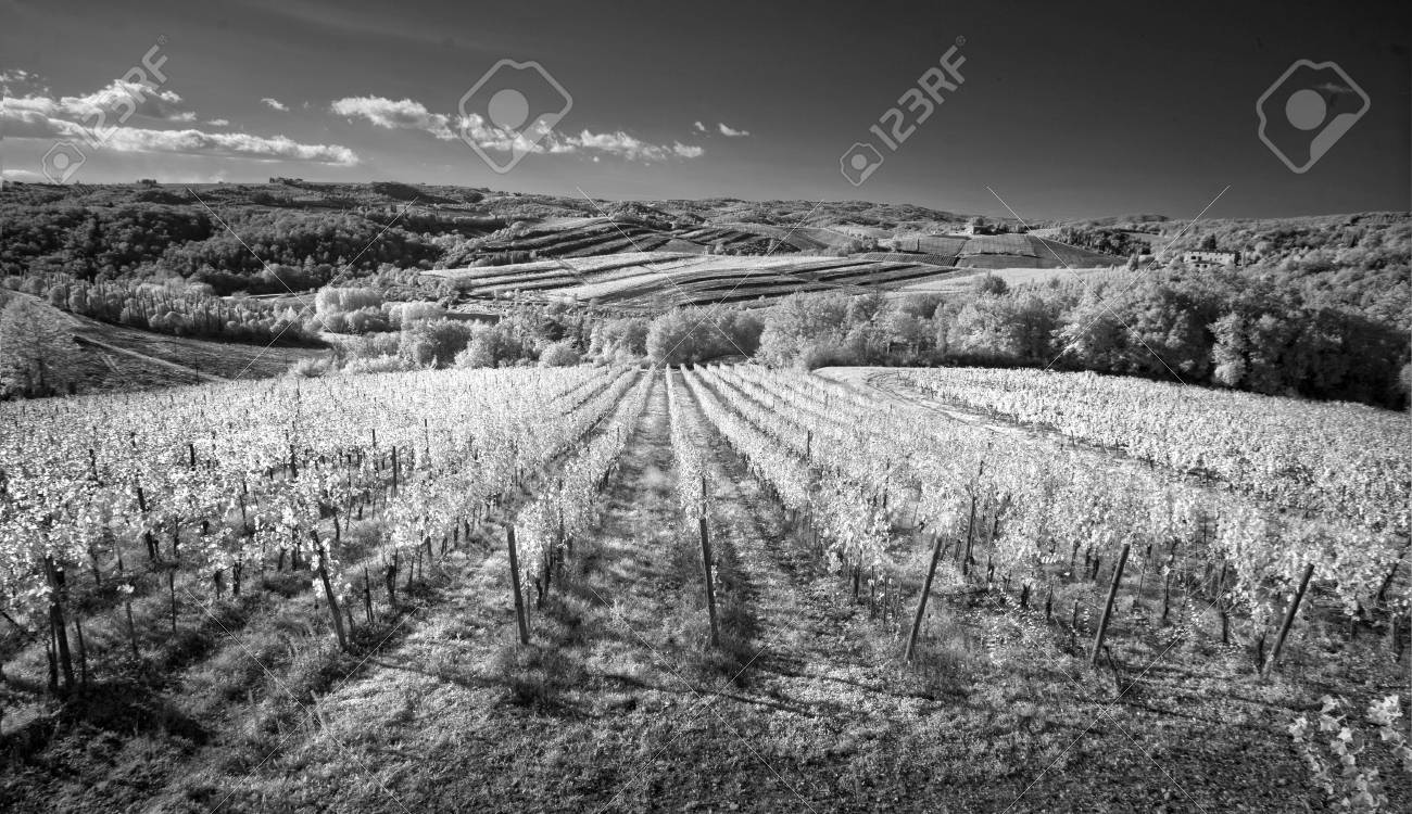 Black and white vineyards of italy stock photo 77579879