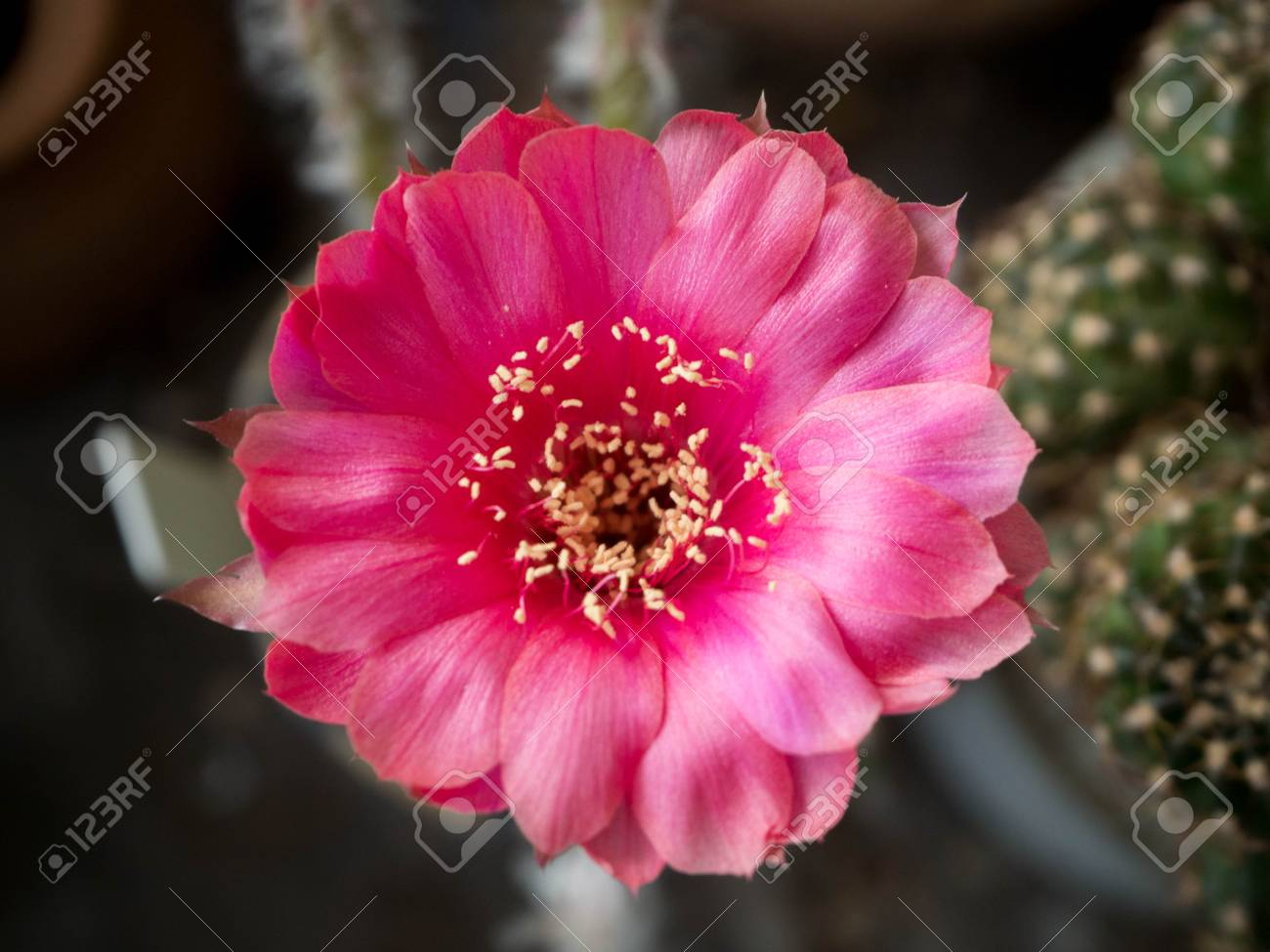 Fiori Con La C.Immagini Stock I Fiori Di Cactus Sono Rosa Sullo Sfondo C E Un