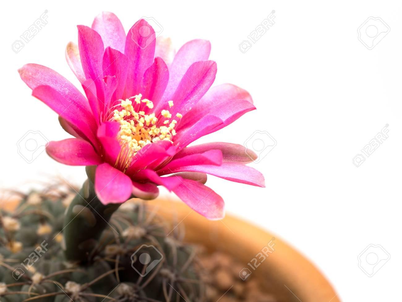 Gros Plan Cactus Avec Une Fleur Rose Dans Un Pot Isole Sur Fond