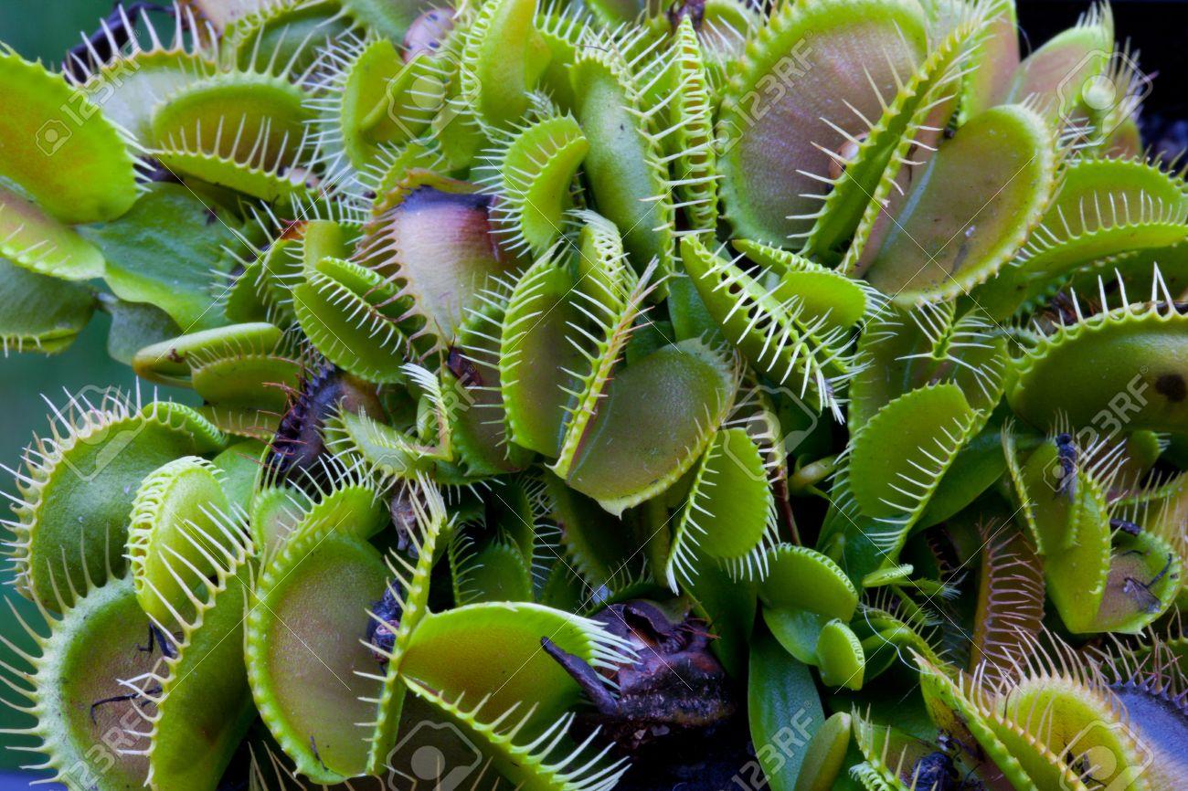 plante carnivore attrape mouche