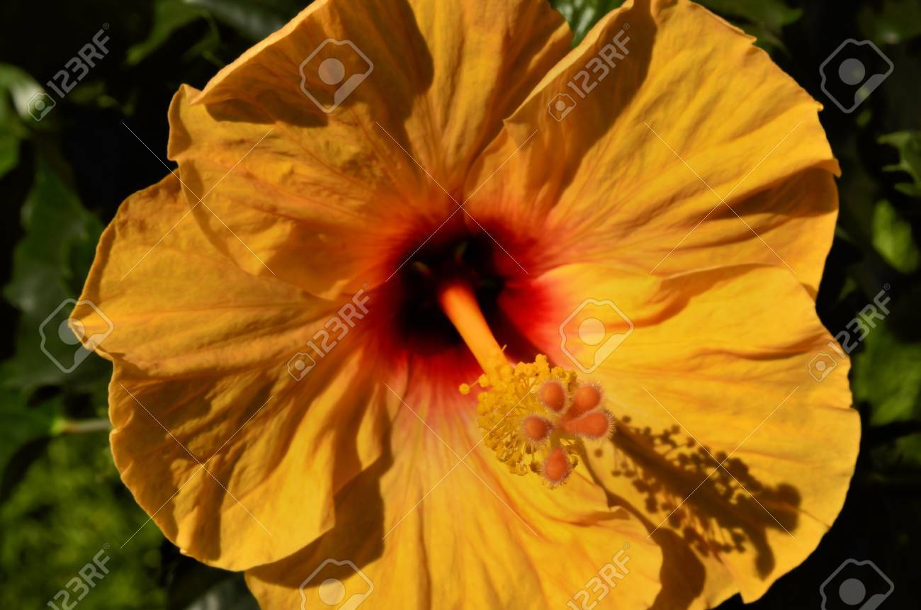 Hibiscus Flower Stamen Stock Photo Picture And Royalty Free Image