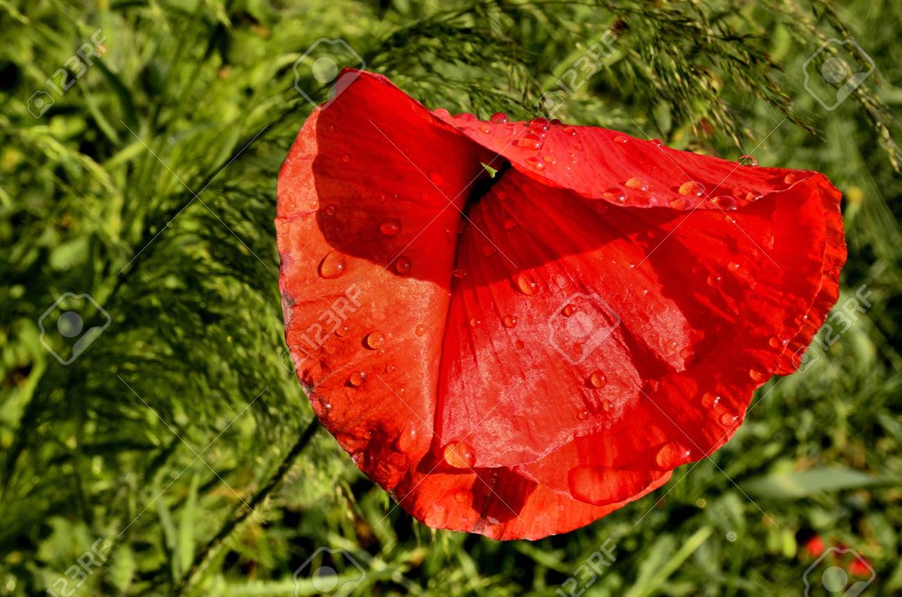 The Photo Shows A Poppy Flower After The Rain On A Blurred