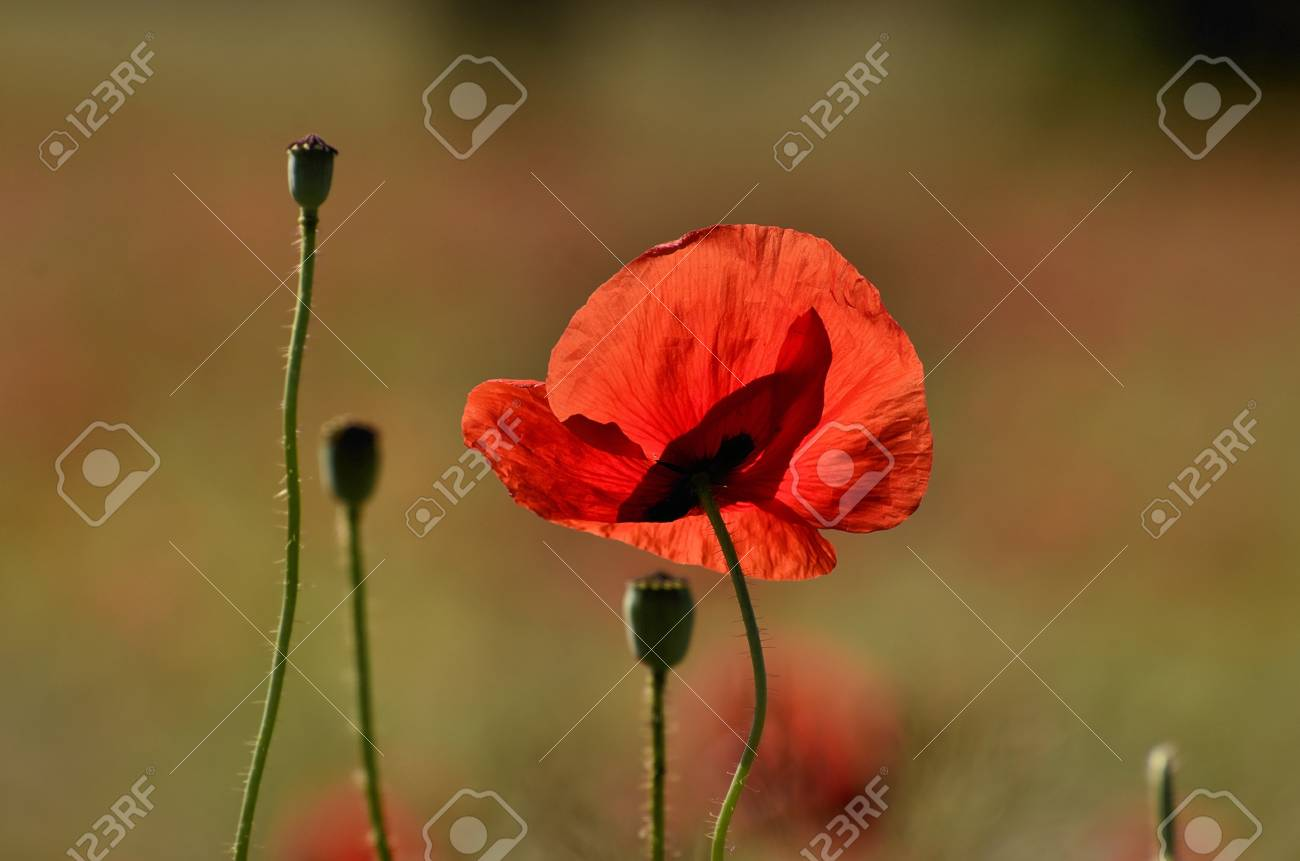 The Photo Shows A Poppy Flower On A Blurred Background Of Grain