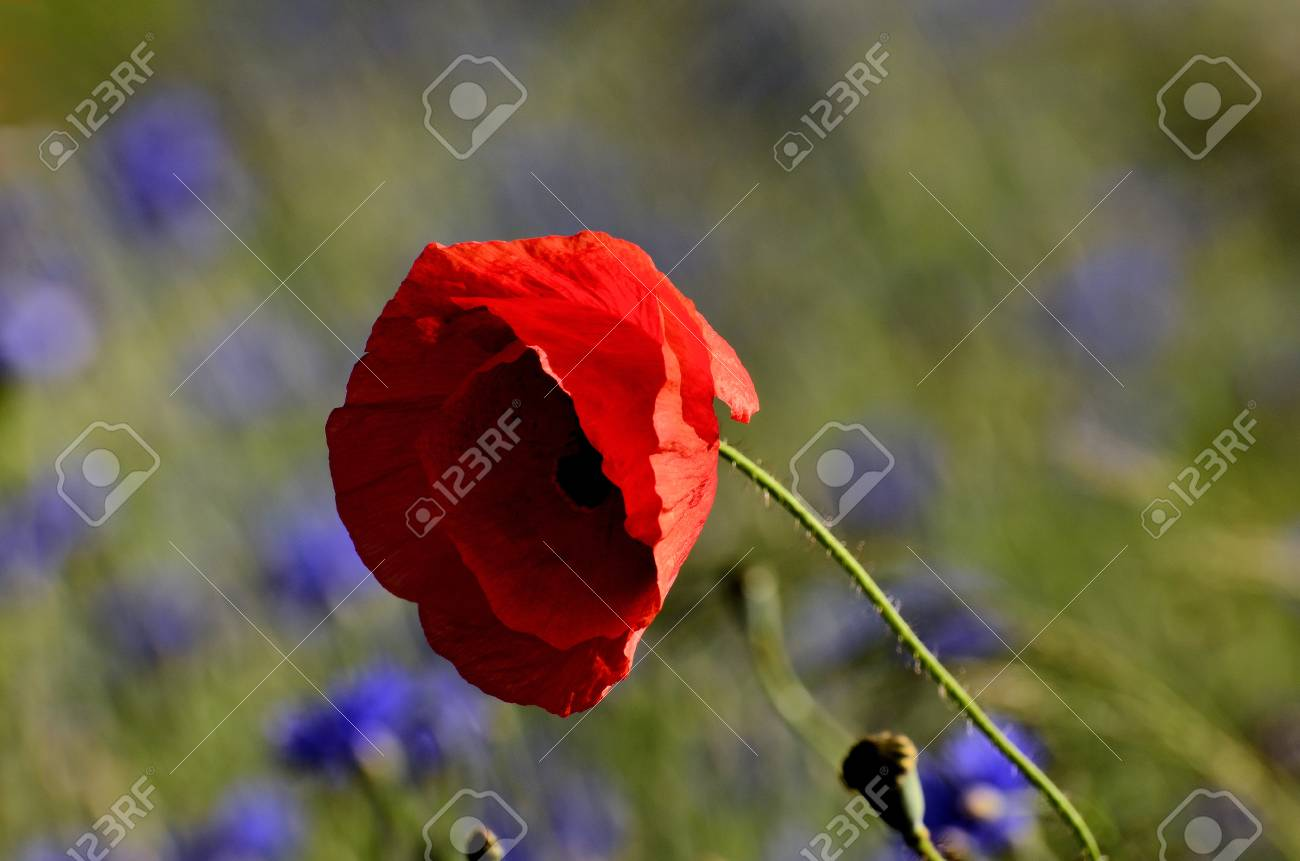 The Photo Shows A Poppy Flower On A Blurred Background Of Field