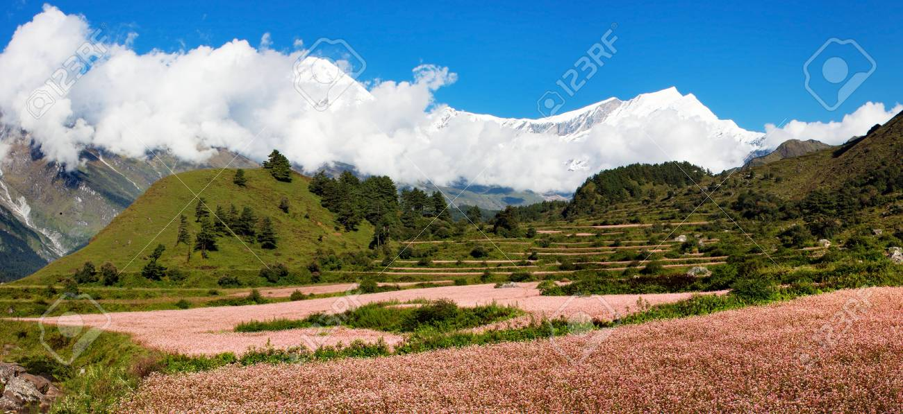 view from annapurna himal to dhaulagiri himal with buckwheat field Stock Photo - 12733810