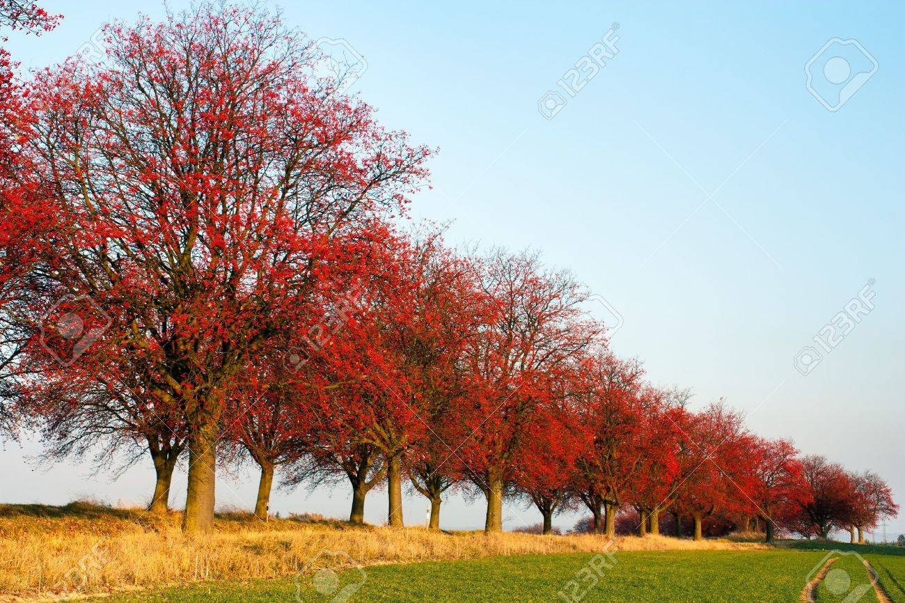 autumnal view of alley of chokeberry Stock Photo - 13650137