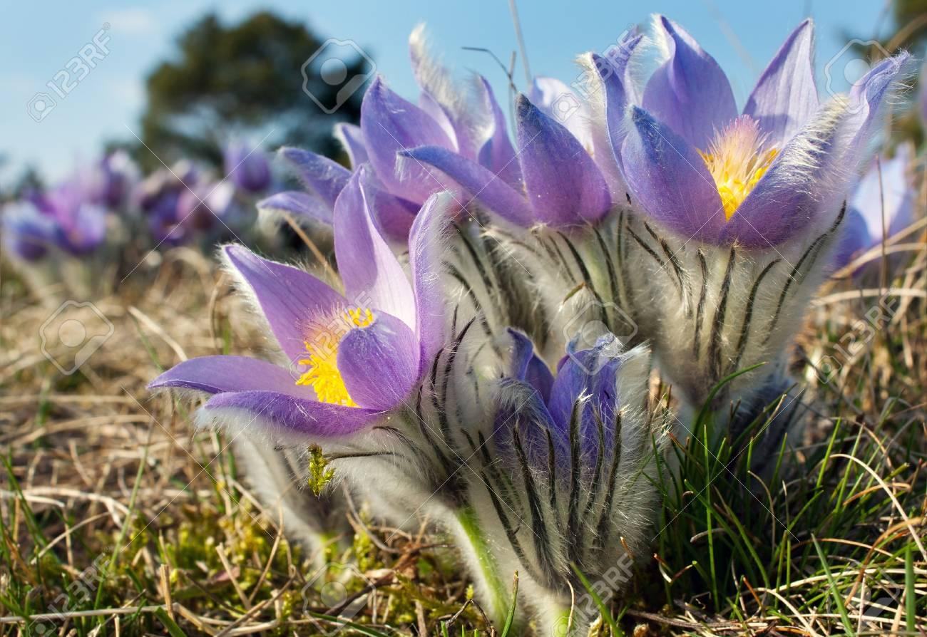flower of pasqueflower Stock Photo - 18654273