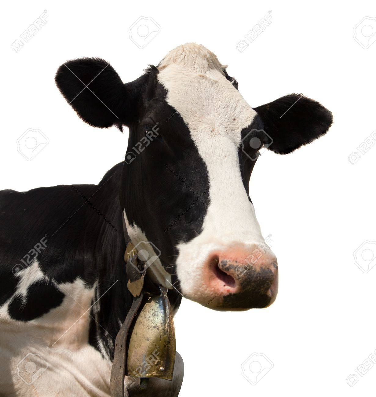 head of black and white cow bos primigenius taurus with cowbell
