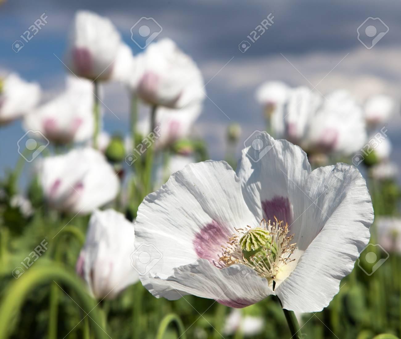 Field Of Flowering Opium Poppy Papaver Somniferum Stock Photo